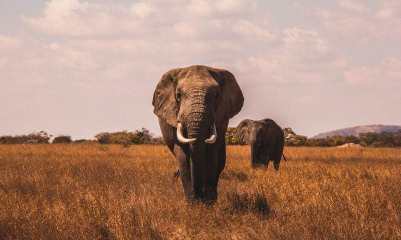 Tanzanie: L'intelligence artificielle à la rescousse des éléphants